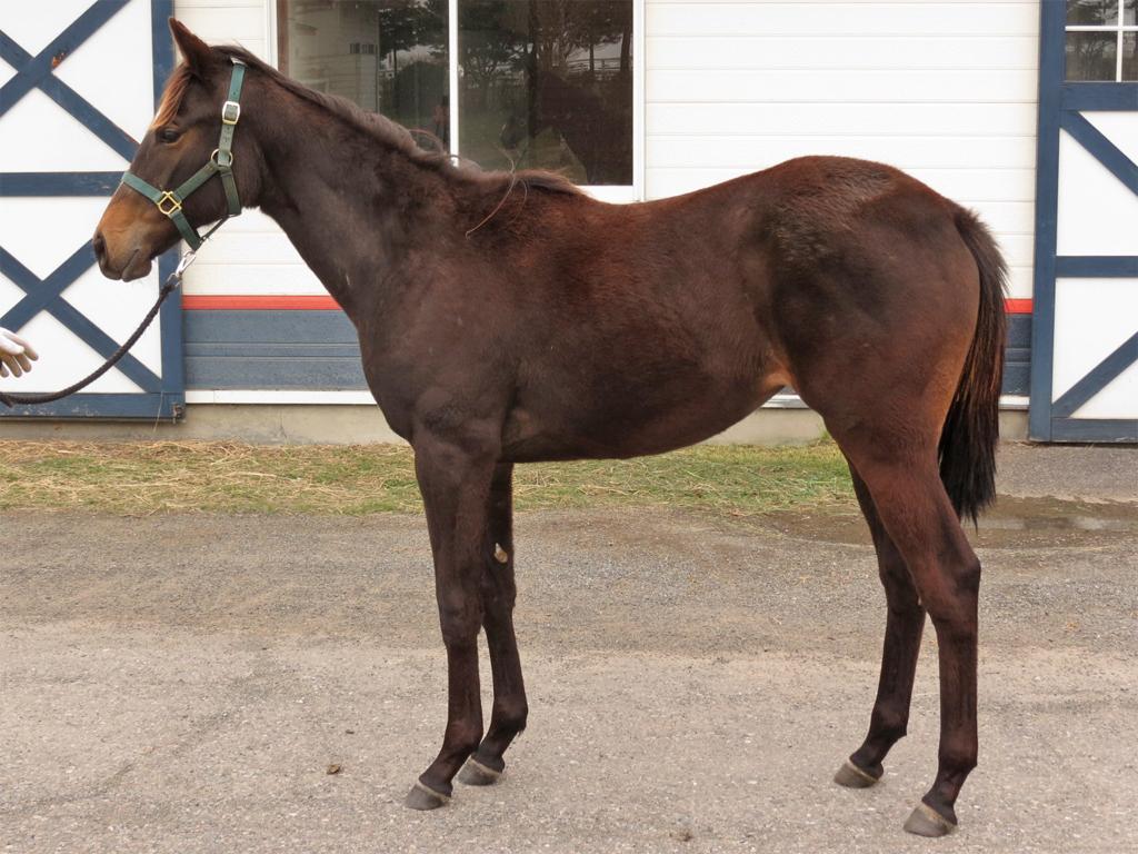 ネヴァーピリオド'14-うちの中では1、2番と言ってもいいくらいに馬を良く見せていますよ(和田獣医師)