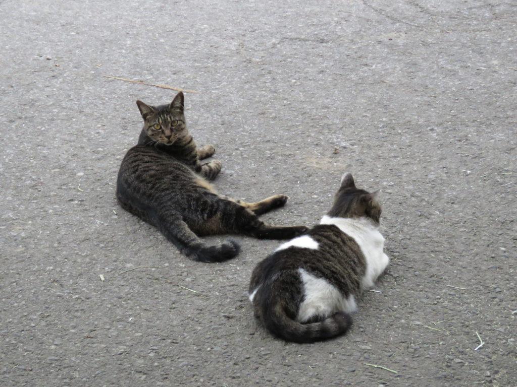 グロースフィールド猫