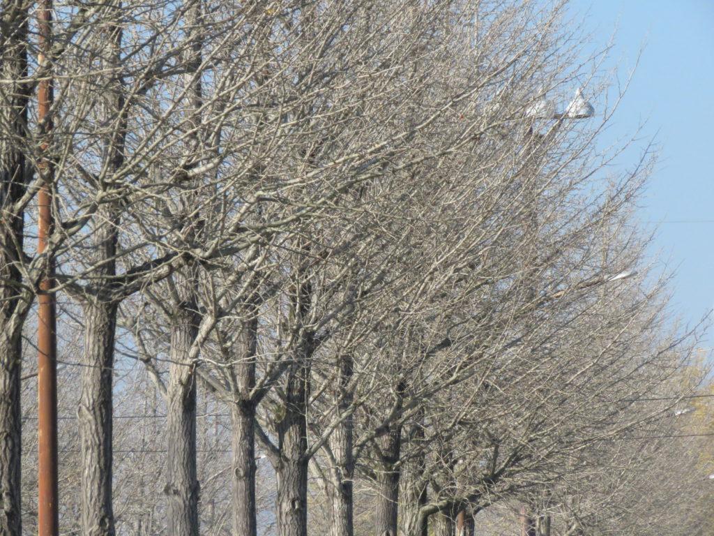 いちょう並木(枯れ)