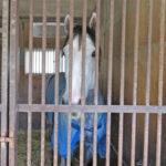 グランソヴァール 中山競馬場で誘導馬に